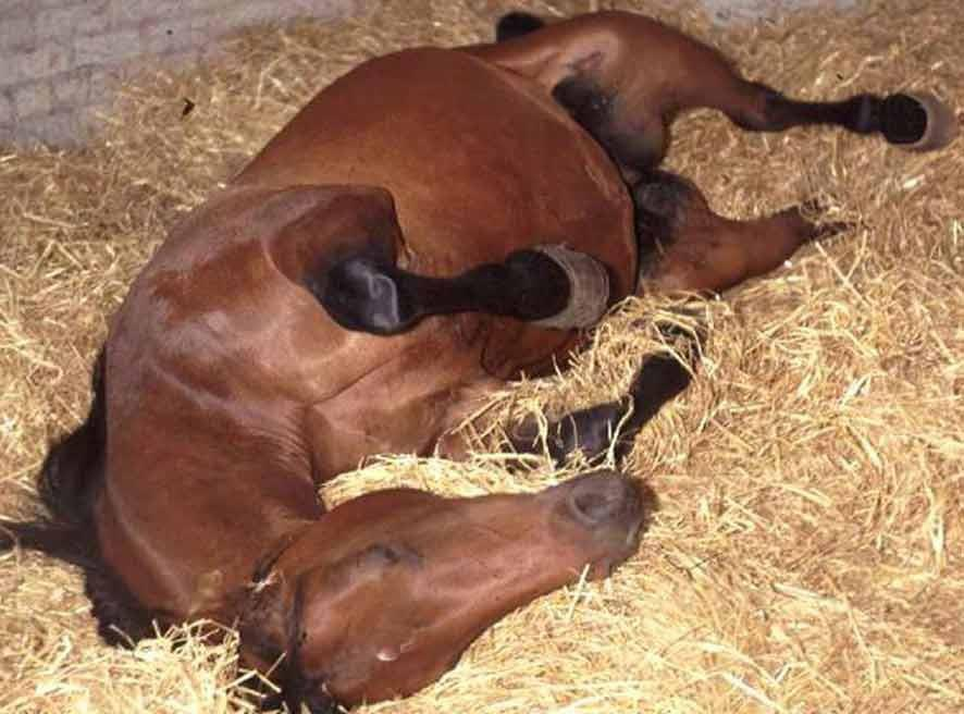 EQUINE NUTRITION: Diet to follow after a colic